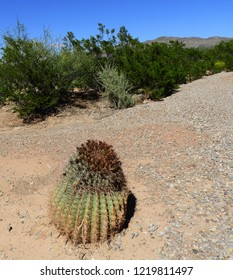 a solitary  fishhook barrel cactus on a path on a sunny day with mountains in the background near tularosa, new mexico