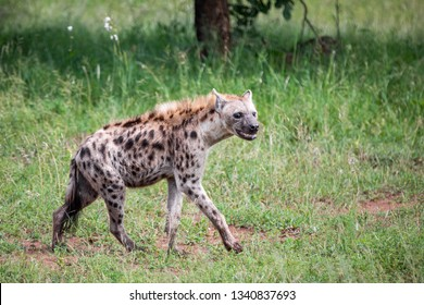 A solitary grinning hyena is roaming the savanna hunting for a prey