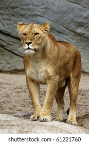 Solitary Lion