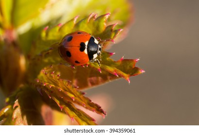 Solitary macro seven spotted ladybug (Coccinella septempunctata) on early spring new rose leaves