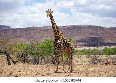 A solitary male giraffe (Giraffa camelopardalis angolensis) roaming  the bush of Damaraland in the springtime. Self-drive safari in Northern Namibia.