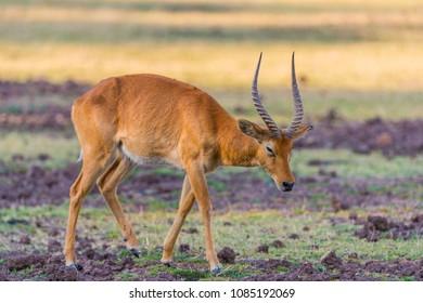 A solitary male Puku antelope (Kobus vardonii), South Luangwa, Zambia, Africa