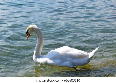 Solitary Mute Swan (Cygnus olor) float on surface of Lake Garda