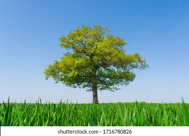 Solitary Oak tree in a field of wheat shoots against a clear blue sky in spring. Much Hadham, Hertfordshire. UK