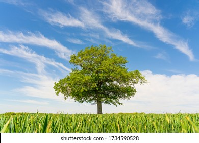 Solitary Oak tree in a field of wheat shoots against a clear blue sky with wispy white clouds. Much Hadham, Hertfordshire. UK