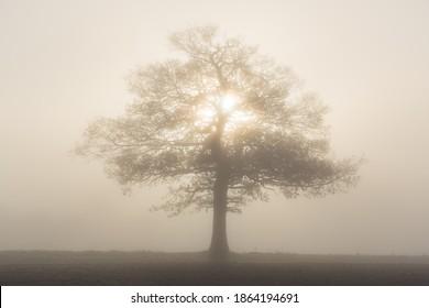 Solitary oak tree in heavy fog backlit with morning sunlight