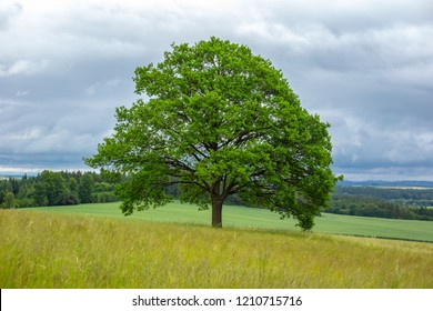 Solitary oak tree on green meadow. Can be used as conceptual image