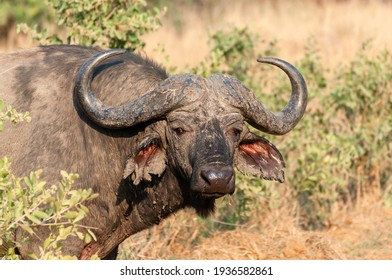 "Solitary Old Cape Buffalo Bull in the bush. These solitary older male buffalos are sometimes referred to as ""Dagga Boys"". Kruger National Park, South Africa."