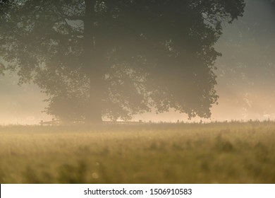 Solitary old tree in misty pasture in summer.