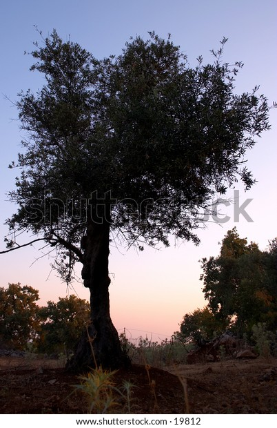 Solitary olive tree at dawn in Prines, Crete, Greece.