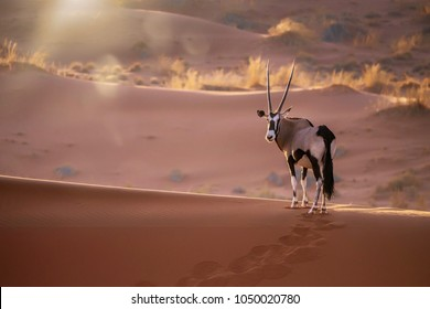 A solitary oryx (oryx gazella) standing still on top of a sand dune ridge looking at the camera, with sunset back lighting and lens flare. In Sossusvlei, Namib Desert, Namibia.