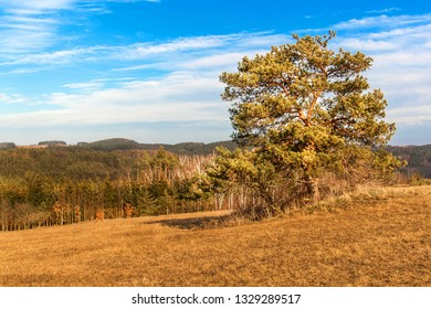 Solitary pine in the foreground of a large field with dried grass on the edge of a forest. Sunny March in the Czech Landscape. Beginning of spring.