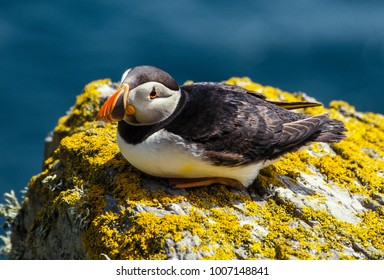 Solitary Puffin on Great Skellig Island