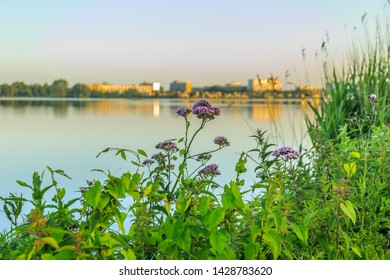 Solitary purple flowering medicinal herb Valerian, Valeriana officinalis, on shore of lake against backdrop of blurry skyline with buildings in warm golden light of sunrise