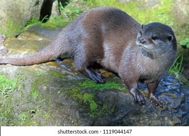 A solitary river otter standing on rocks at the side of a stream
