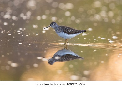 solitary sandpiper (Tringa solitaria) in the morning light