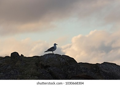 A solitary Seagull  in the arctic evening. Dikson, western Siberia, Russia.