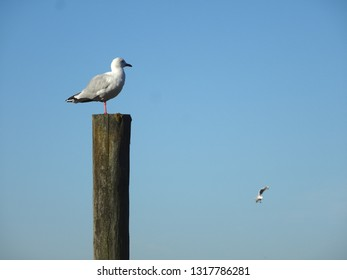 Solitary seagull perching on high post with blue sky background Petone New Zealand