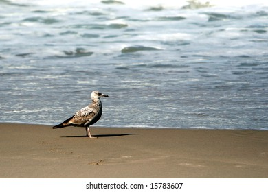 Solitary Seagull Standing on a Beach