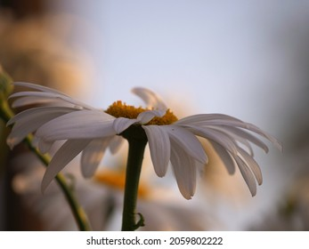 Solitary Shasta Daisy flower on bokeh background selective focus close up shot