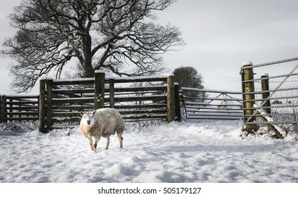 Solitary sheep stands in a snowy field looking towards the camera
