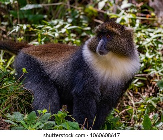 Solitary Sykes Monkey standing amongst vegetation in evergreen forest, with eyes averted. He has a large white patch on the throat and upper chest, and a grizzled cap.  Aberdare National Park, Kenya.