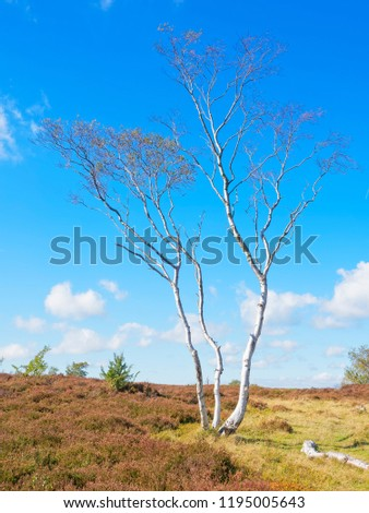 A solitary, tall and spindly Silver Birch stands on Stanton Moor in the Derbyshire Dales.