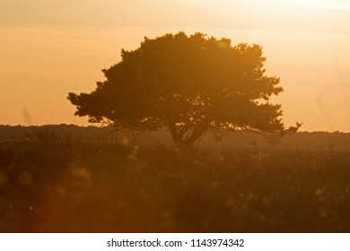 solitary tree against sky of the sunset above the Dwingelderveld, the Netherlands