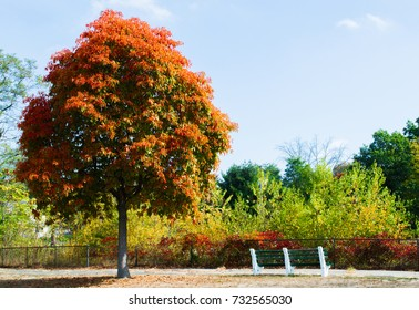 solitary tree with colorful autumn foliage near a bench in a New England park
