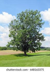 Solitary Tree in Field