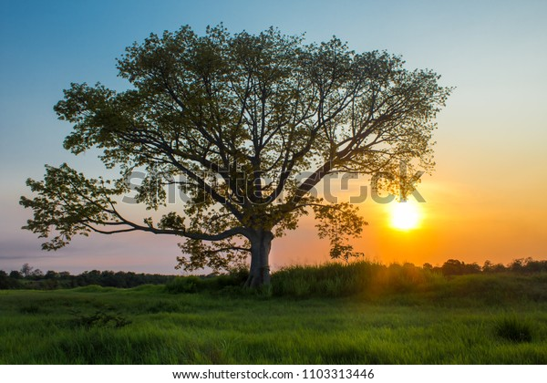 Solitary tree in a field with grass at sunset