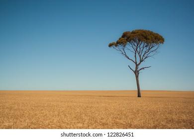 A solitary tree grows in a field of wheat in the wheat belt in Western Australia