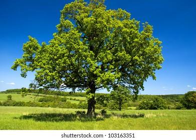 Solitary tree in meadow in beautiful clear-sky day in Czech republic. The Carpathian Mountains.