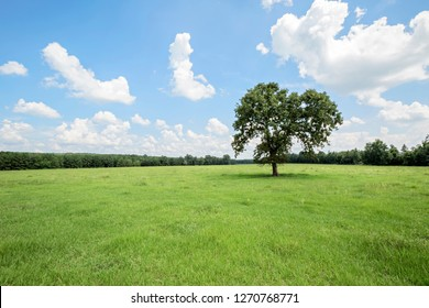 A solitary tree in the middle of a grassy pasture under a blue sky on a summer day