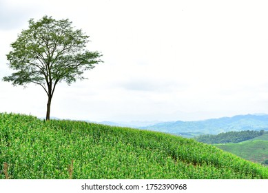 solitary tree on corn hill and blue sky with clouds in the background