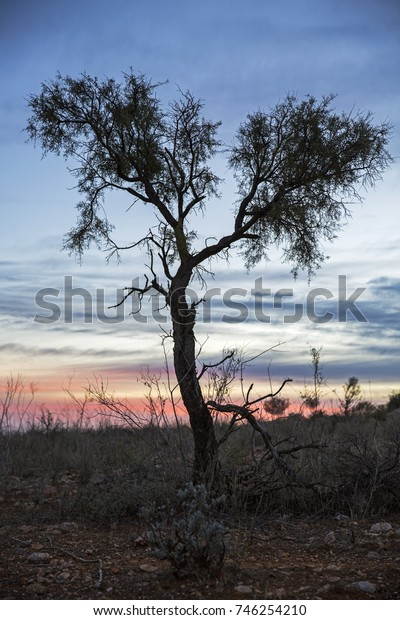 A solitary tree stands in a desert landscape, silhouetted against a subtle outback sunrise near Broken Hill in outback New South Wales, Australia.
