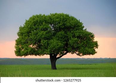 Solitary tree in twilight
