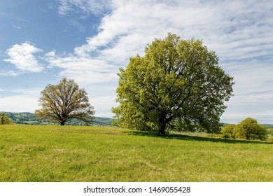 Solitary trees on a pasture in Bile Karpaty mountains, Czech Republic, spring landscape in sunny weather