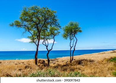 Solitary trees stand on the leeward side of the island of Lanai, Hawaii standing guard over the blue Pacific Ocean.