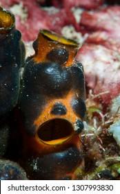 Solitary Tropical Ascidian