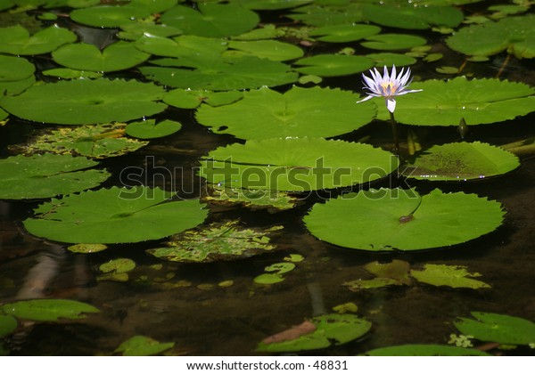Solitary Water Lily flower amongst Water Lily Pads.