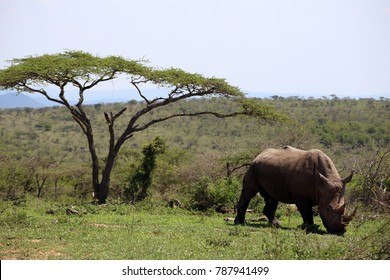 A solitary white rhino in Hluhluwe - iMfolozi Park, South Africa