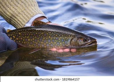 Solitary, wild, and beautiful Brook trout being released back into the water on a lake in the Rocky Mountains of British Columbia