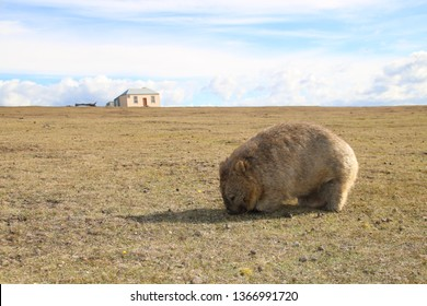 A solitary wombat serenely grazes on grass at Maria Island National Park, Tasmania, Australia with an old settlers cottage in the background with clouds sweeping across a blue sky.