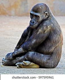 Solitary young gorilla looking pensive