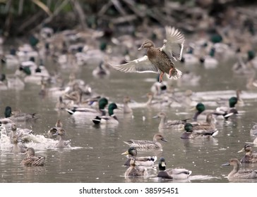 Solo female mallard duck makes a tight landing landing in a busy pond