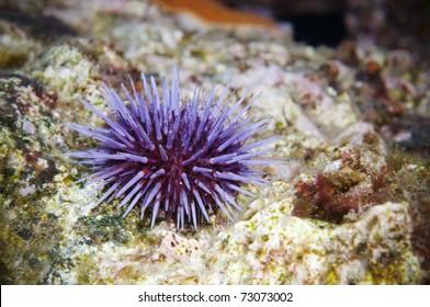 Solo purple Sea Urchin on reef