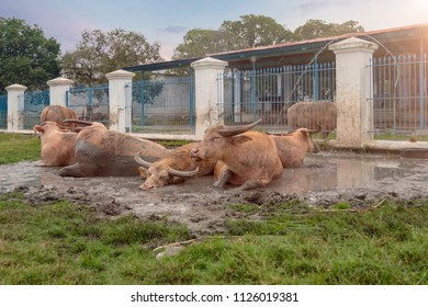Solo Sacred Buffalo Enjoying Morning Bath in the Mud