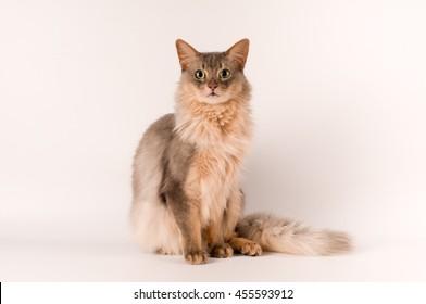 Somali cat blue color