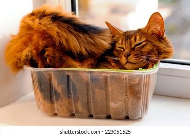 Somali cat lie inside transparent plastic box